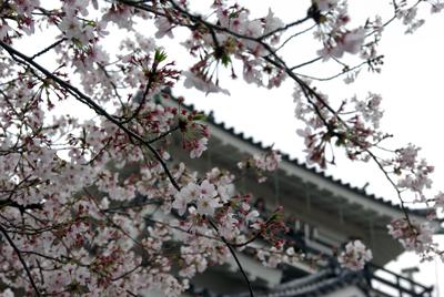 浜松城公園でお花見