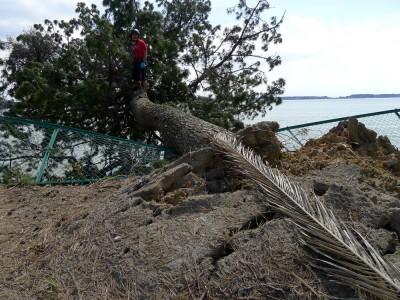 なぎ倒された松の木